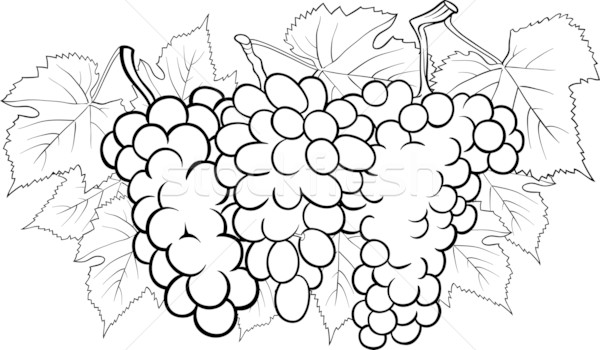 Stock photo: bunches of grapes illustration for coloring
