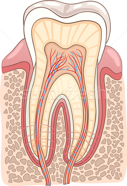 Tooth Section Medical Illustration Stock photo © izakowski