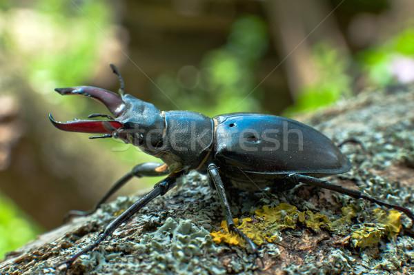 Stag beetle Stock photo © jakatics