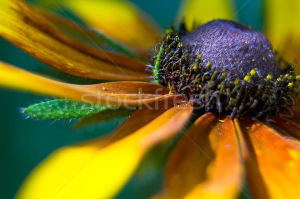 Citromsárga százszorszép virág természet fekete méh Stock fotó © jakatics
