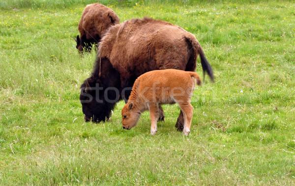 Bölény természet pár mező szín fiatal Stock fotó © jakatics