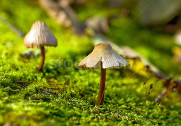 Small fungus growing in the green moss Stock photo © jakatics