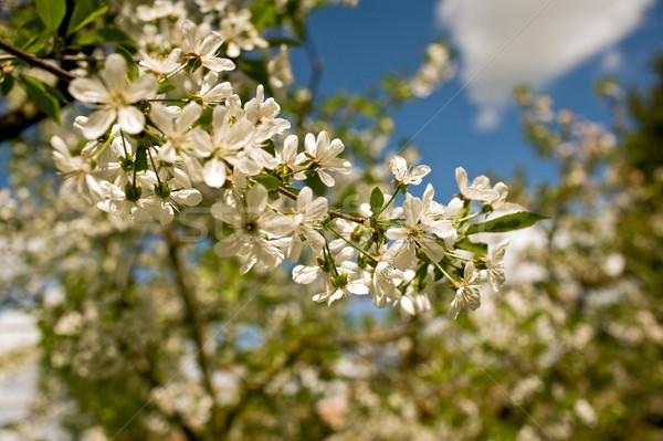 Cseresznye virágok virágzó virág tavasz szépség Stock fotó © jakatics