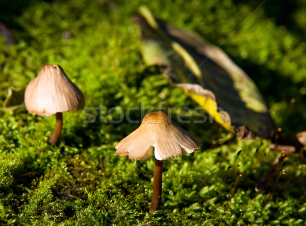 Small fungus growing in the moss Stock photo © jakatics