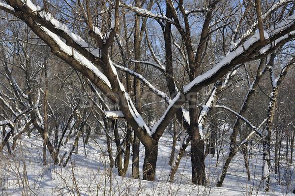 Tree in wintertime Stock photo © jakatics