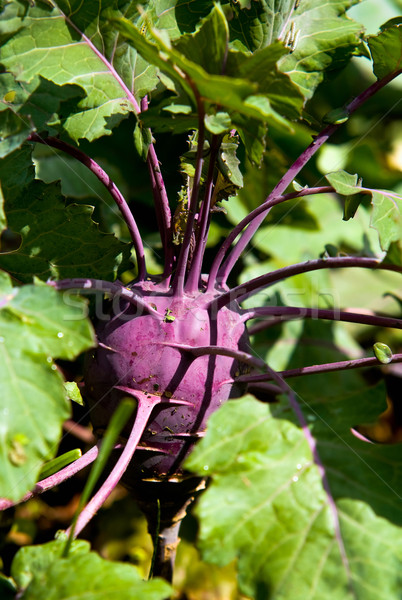 Purple kohlrabi Stock photo © jakatics
