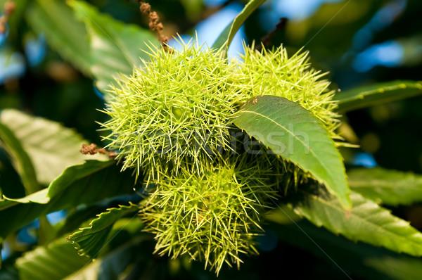 Gesztenyebarna fa étel levél zöld farm Stock fotó © jakatics