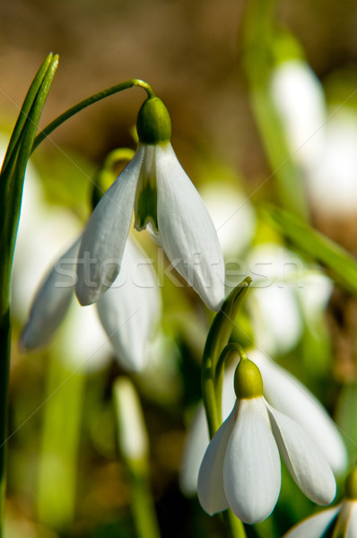 Closeup of snowdrops Stock photo © jakatics