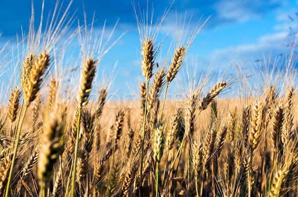 Korenveld landschap zomer Blauw brood tarwe Stockfoto © jakatics