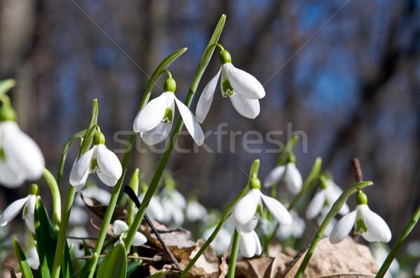 Closeup of snowdrops  Stock photo © jakatics