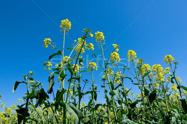 Nemi erőszak mező égbolt virág zöld farm Stock fotó © jakatics