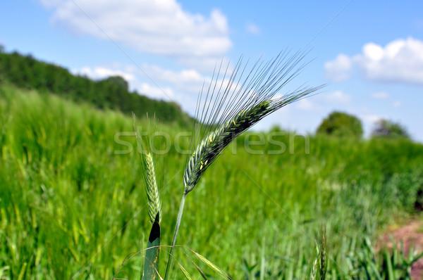 Grünen Kornfeld Bereich Farbe heißen Land Stock foto © jakatics