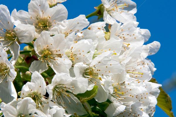Blooming cherry flower Stock photo © jakatics