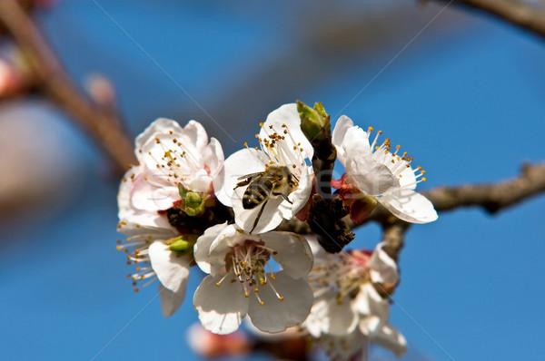 Kayısı arı ağaç doğa meyve Stok fotoğraf © jakatics