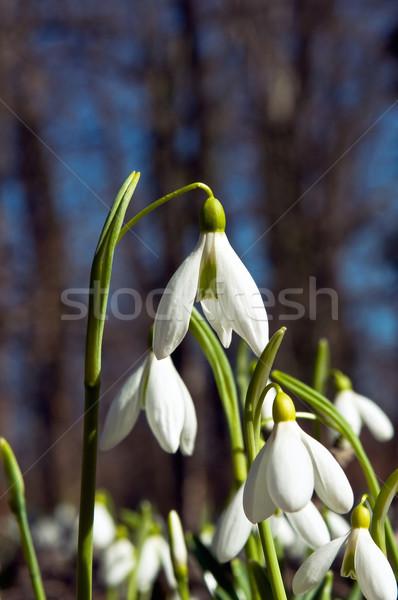 Tavasz nap hó kert szépség növény Stock fotó © jakatics