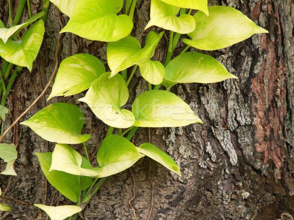 листва дерево Кора парка филиала среде Сток-фото © jakgree_inkliang