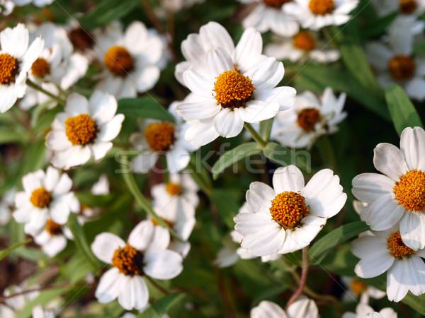 Weiß Gänseblümchen Frühling Sommer Bereich grünen Stock foto © jakgree_inkliang