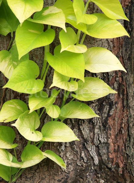 Laub Baum Rinde Park Zweig Umwelt Stock foto © jakgree_inkliang