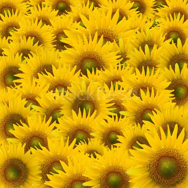 Sonnenblumen schönen gelb Blütenblätter Blume Stock foto © jakgree_inkliang