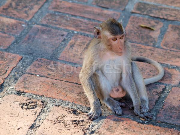 Affe Thailand Park Tier aussehen cute Stock foto © jakgree_inkliang
