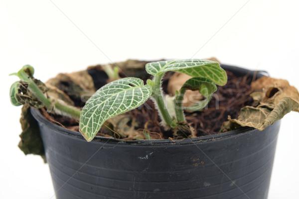 Jungen Baum Topf Blatt grünen weiß Stock foto © jakgree_inkliang
