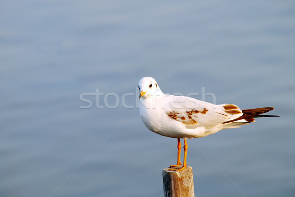 seagull Stock photo © jakgree_inkliang