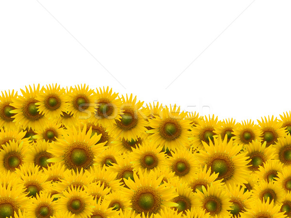 Many sunflower on white space background Stock photo © jakgree_inkliang