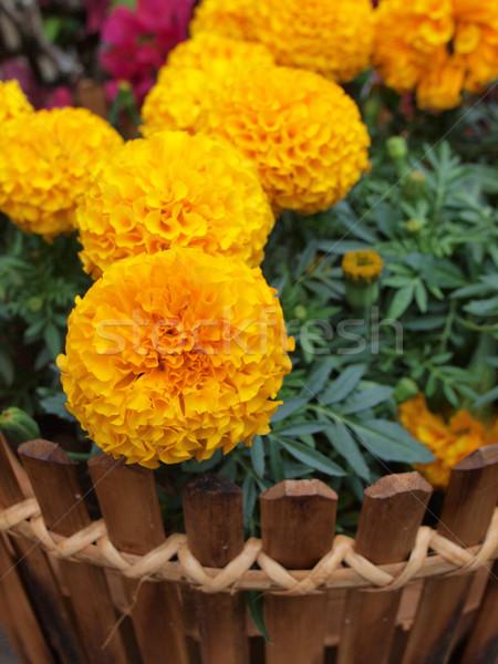 Blume Frühling Garten Sommer orange Farbe Stock foto © jakgree_inkliang