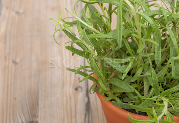 Potted Rosemary Stock photo © jamdesign