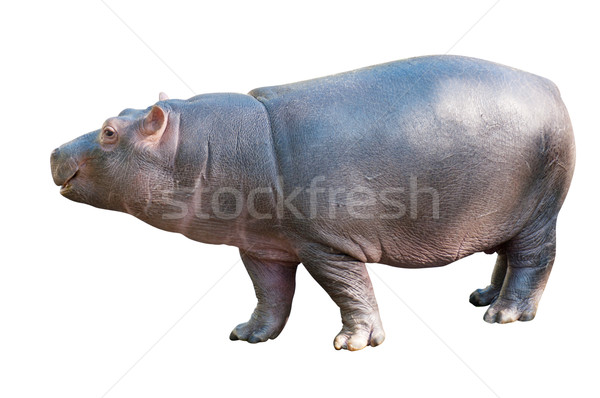 Baby Hippo Stock photo © jamdesign