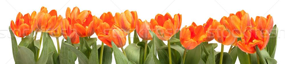 Orange Tulips Stock photo © jamdesign