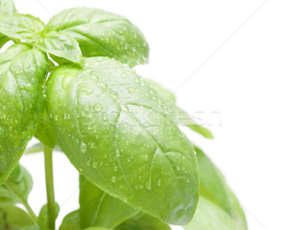 Basil Leafs Stock photo © jamdesign