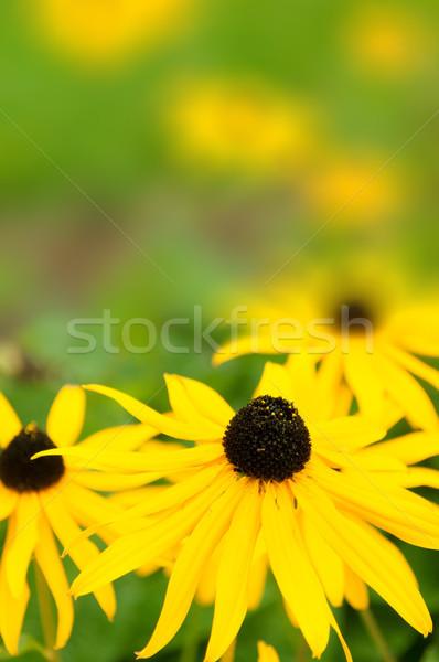 Yellow Daisies Stock photo © jamdesign