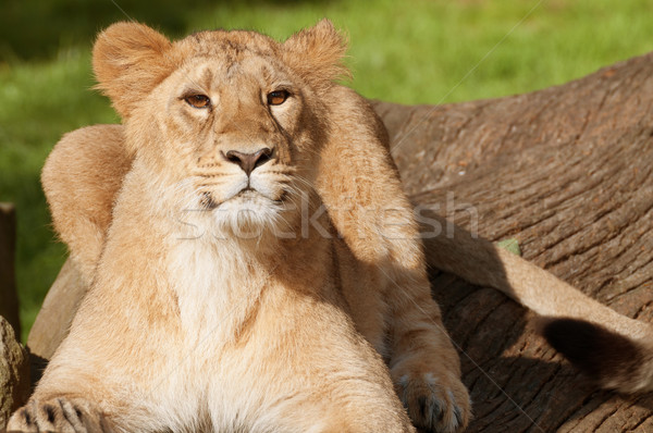 Young Lion Stock photo © jamdesign