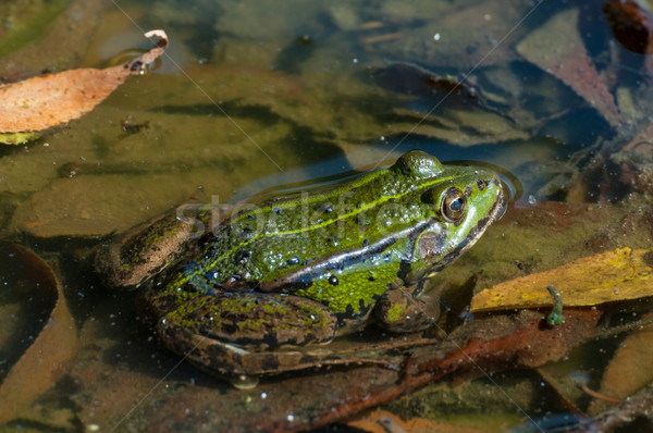 Comestible rana verde agua naturaleza Foto stock © jamdesign