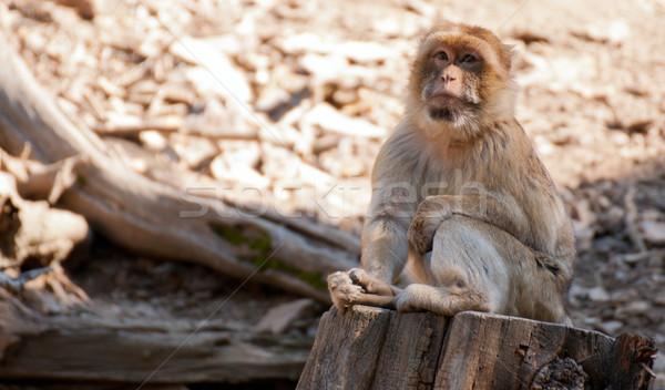 Barbary Macaque Stock photo © jamdesign