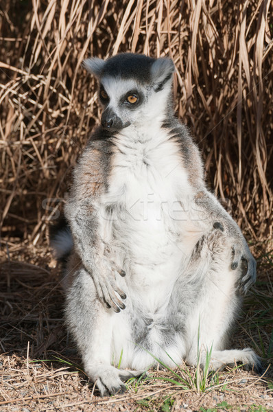 Ring-tailed lemur Catta Stock photo © jamdesign