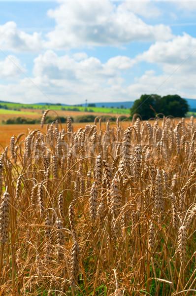 Rolniczy dziedzinie pszenicy Błękitne niebo niebo Zdjęcia stock © jamdesign
