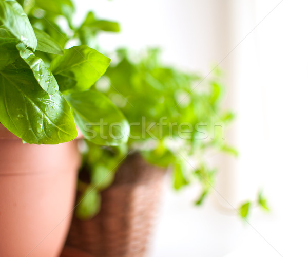 Basil in Pot Stock photo © jamdesign