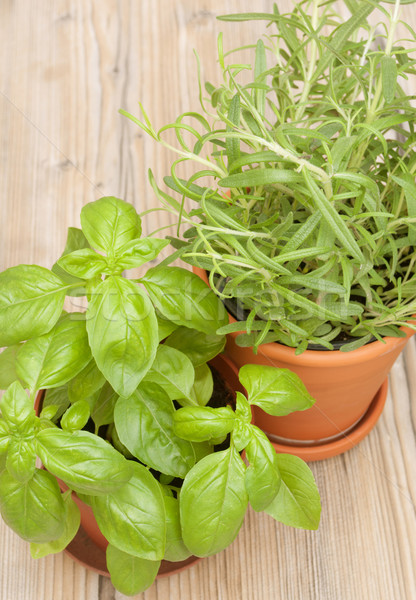Stock photo: Potted Herbs - Basil and Rosemary
