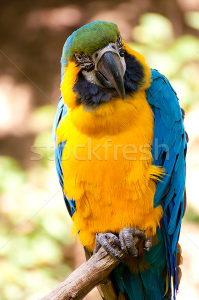 Blue-and-yellow Macaw  Stock photo © jamdesign