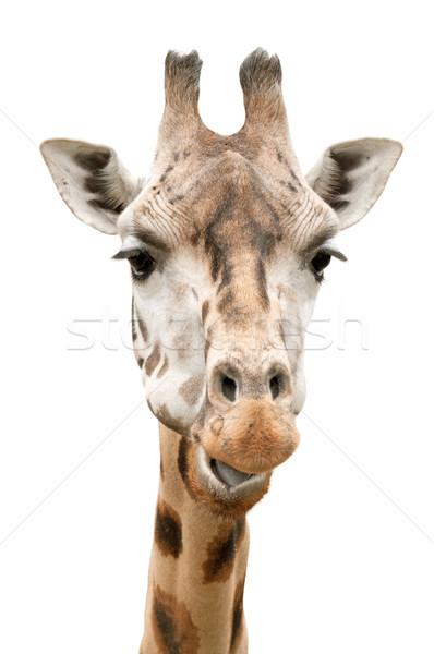 Zsiráf arc közelkép vicces izolált fehér Stock fotó © jamdesign
