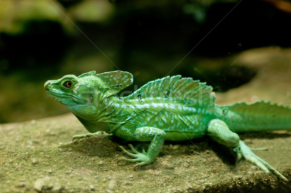 Green Basilisk Stock photo © jamdesign