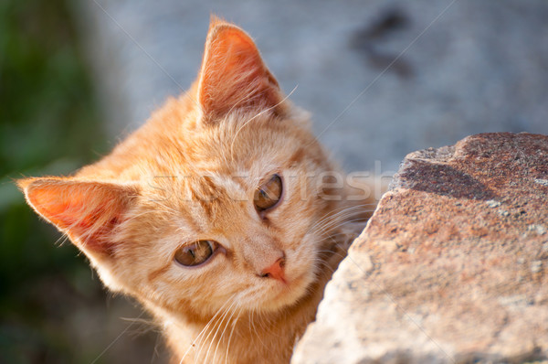 Cute Ginger Kitten Stock photo © jamdesign