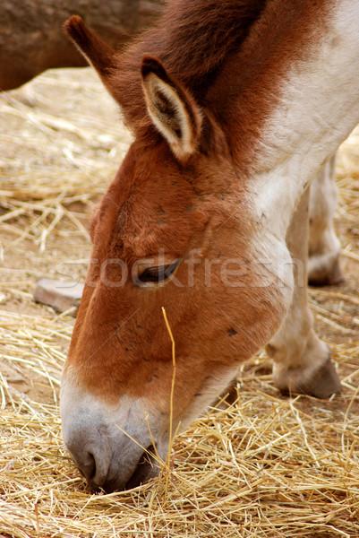 Stock photo: Przewalski's Horse