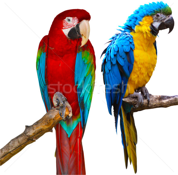 Ara Parrots Stock photo © jamdesign