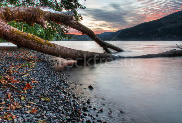 Tree Growing into Lake with Sunset in Background Stock photo © jameswheeler