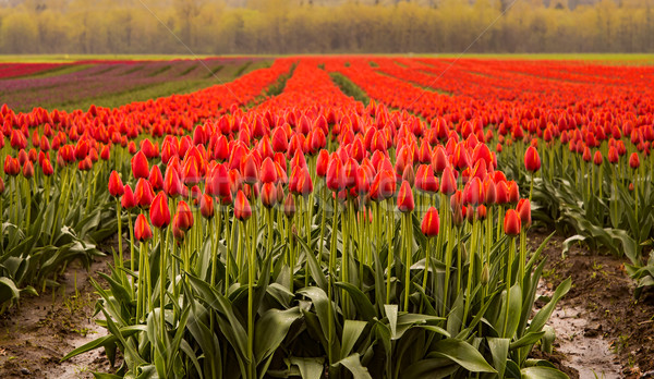 Field of Red Tulips Stock photo © jameswheeler