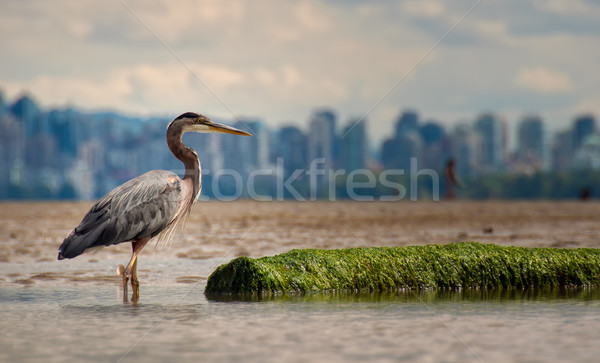 Heron With Log And Vancouver Skyline Stock photo © jameswheeler