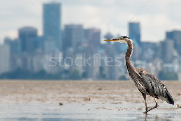 Heron Fishing With Vancouver Skyline in Background Stock photo © jameswheeler